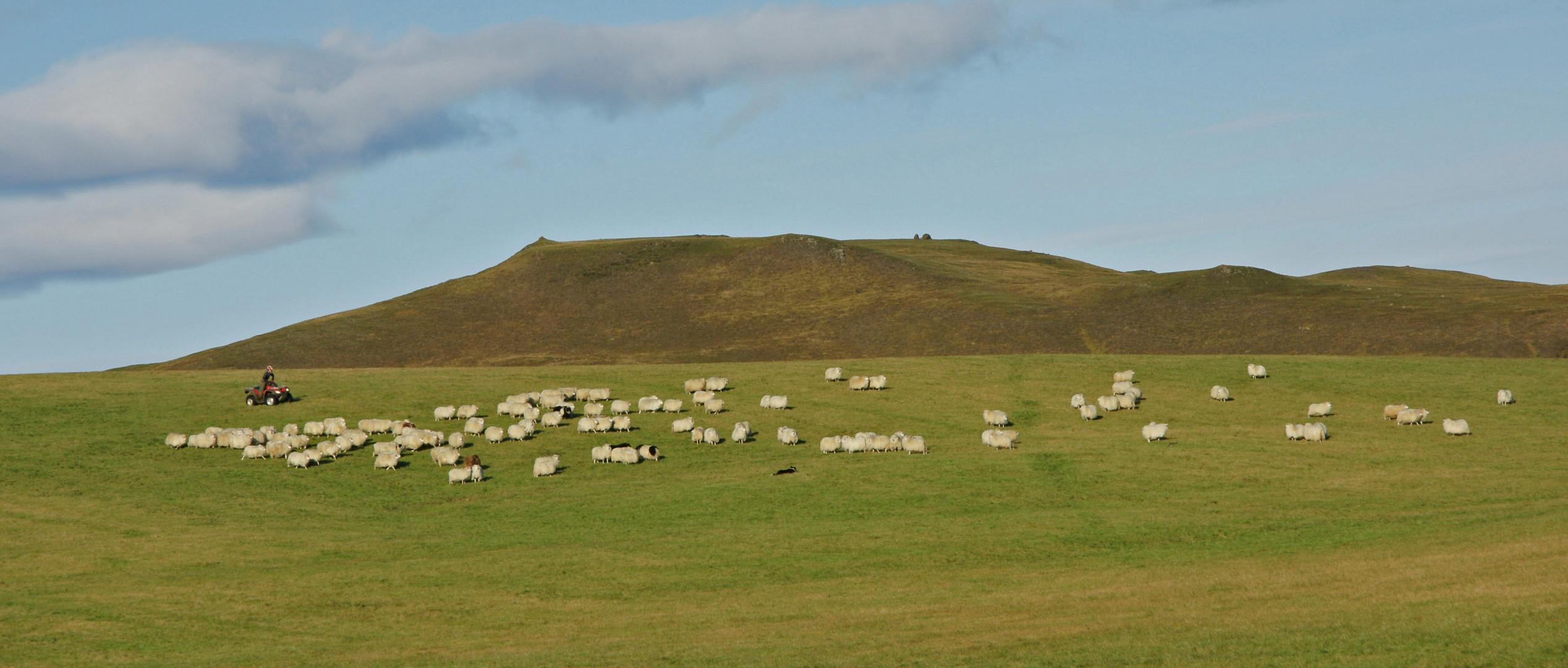 Isländischer Bauer treibt seine Schafe zusammen.