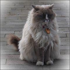 Isländisches Katzenmodel
