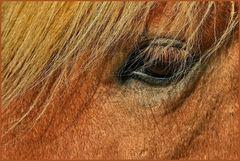 Island Pferd