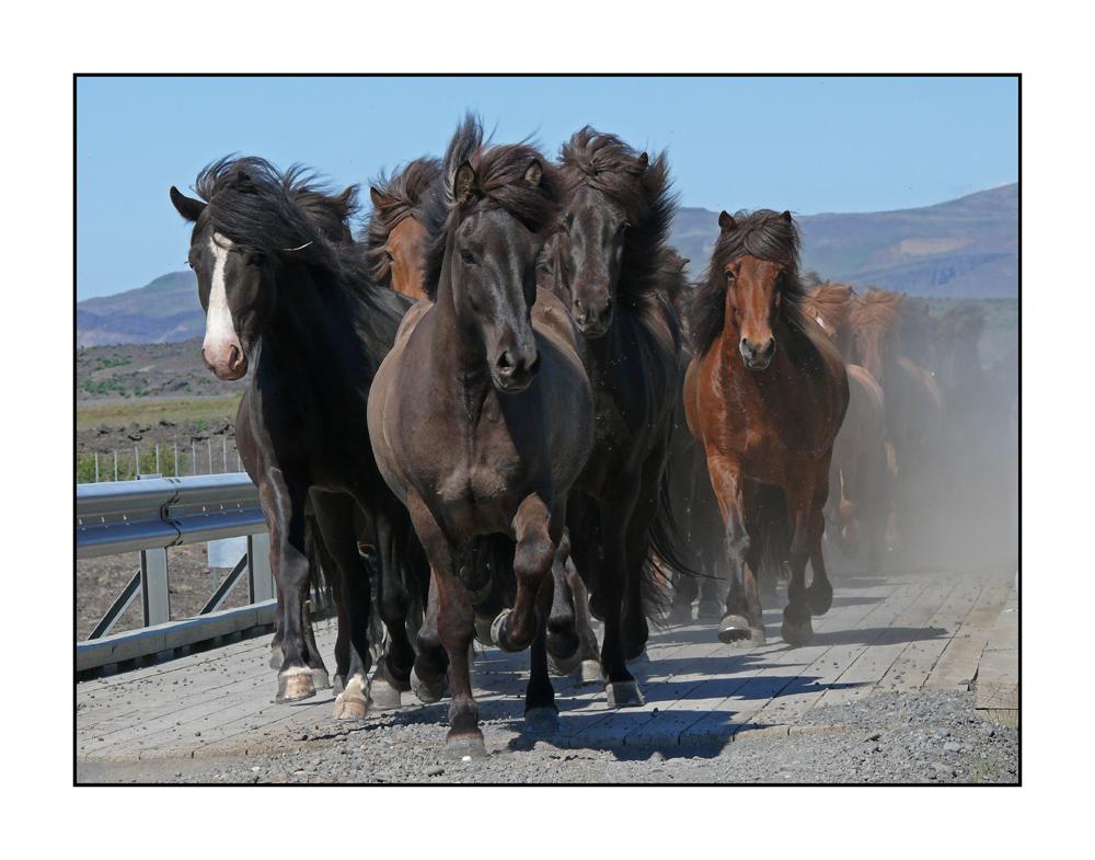 Island-Pferde, Iceland