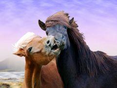 island ponys