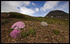 "Islandblumen-""Blick"""