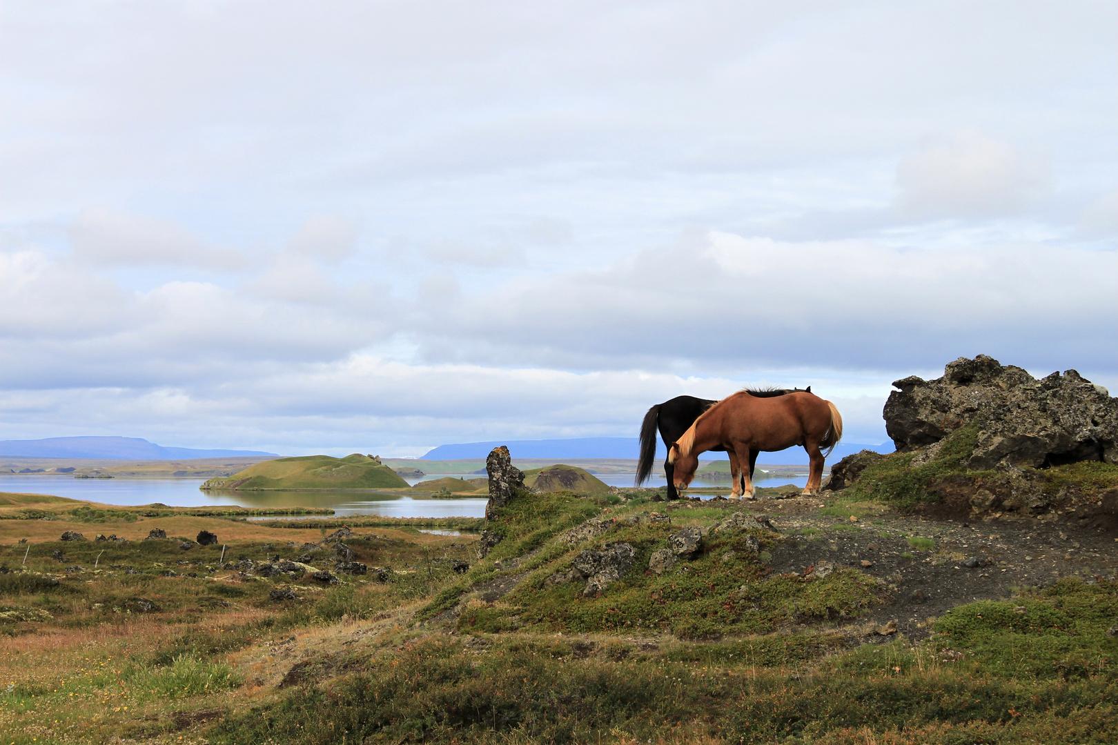 Islandpferde am Mývatn