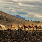 Islandpferde im Krafla-Gebiet