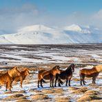 Islandpferde in der winterlichen Landschaft Islands