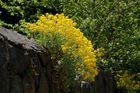Ist der Frühling die Zeit der Mauerblümchen?