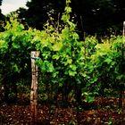 Istrischer Wein in spe......