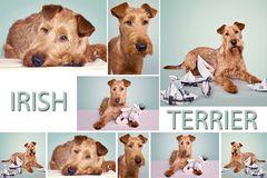 IT - IRISH TERRIER