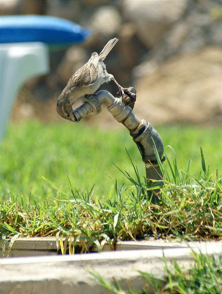 it was hot, bird drinkes out of the tap