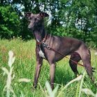 "italian greyhound ""Adagio"""