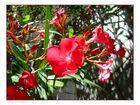 Italienischer Oleander