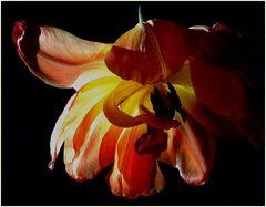 it's a tulip...
