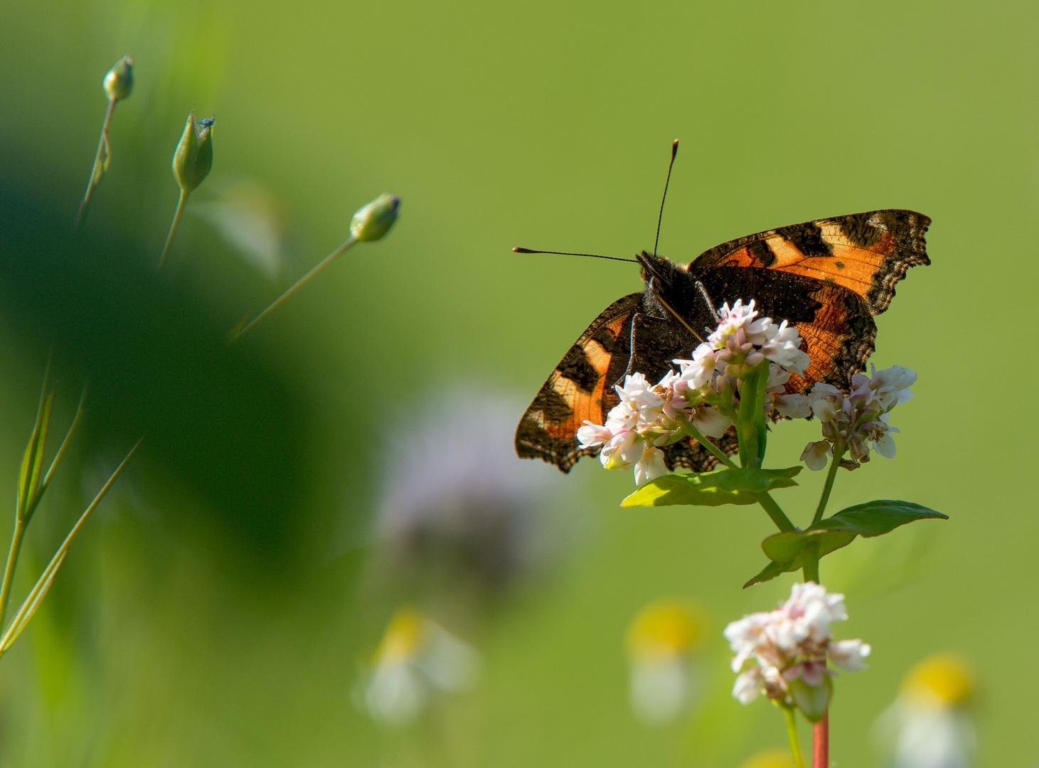It´s Butterfly-Time