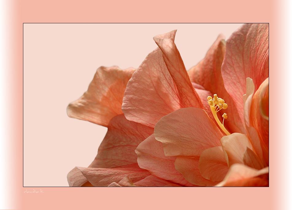 It's my hibiscus ! ;-)