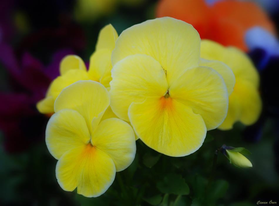 It's Pansy Time..II