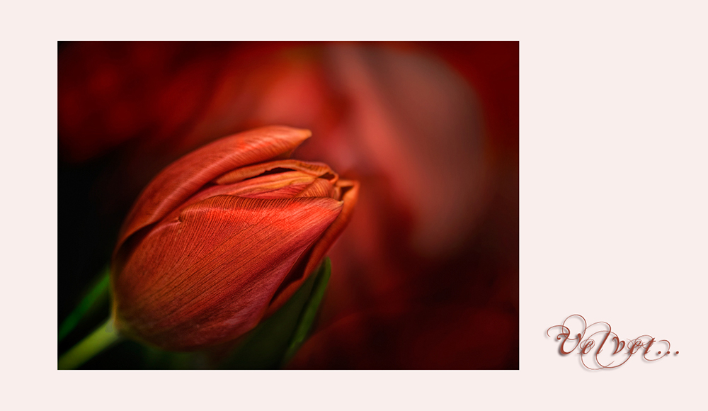 It's tulip-season.... - Valentine...