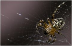 ItziBitzi - Spider