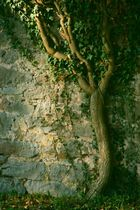 ivy and sandstone