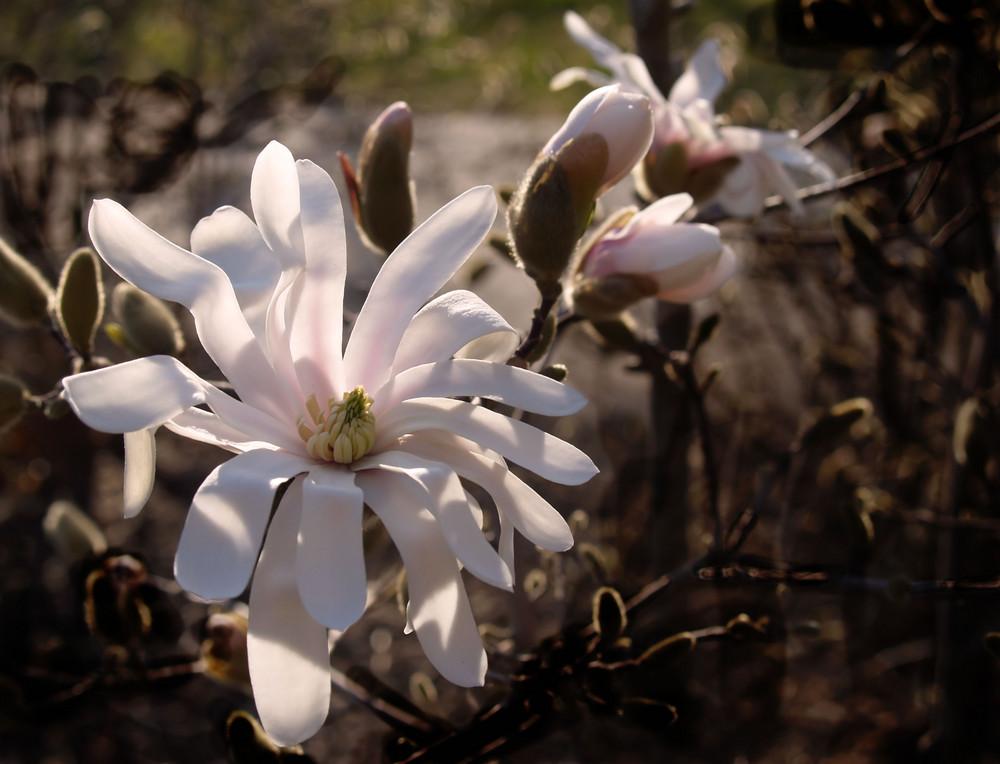 Ja, auch das sind Magnolien......