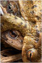 Ja, ja ... die Erdkröten ...