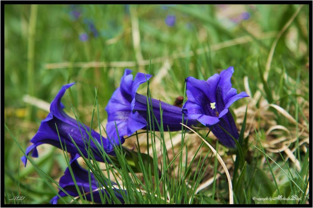 Ja ja so blau, blau...blüht der Enzian... Foto & Bild ...