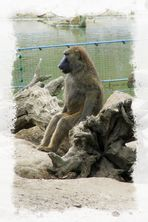 Ja, wir stammen vom Affen ab