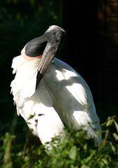 Jabiru - Storch/Stelzvogel
