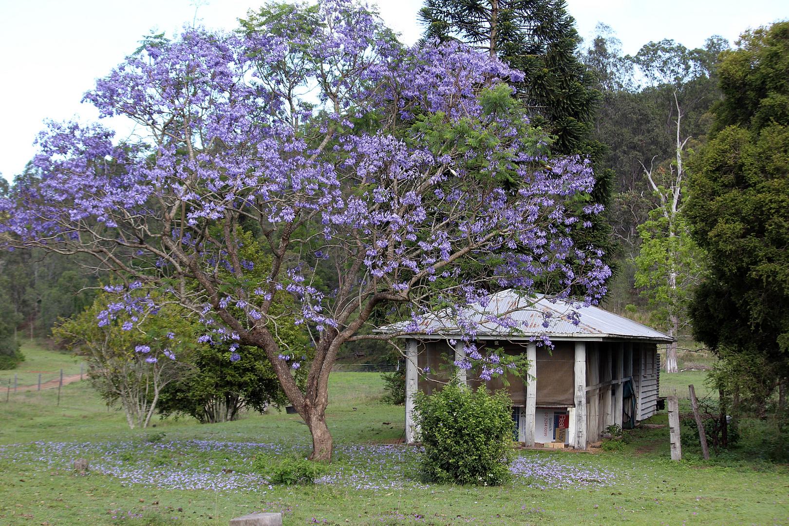 jacaranda tree and house