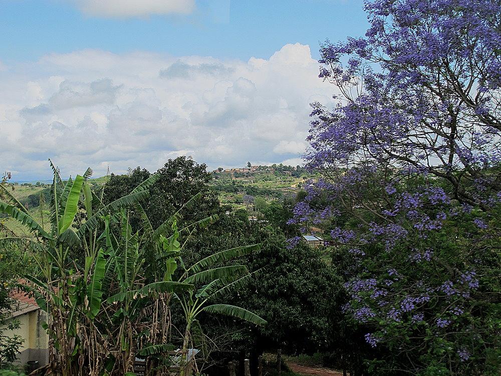 Jacararanda Baum