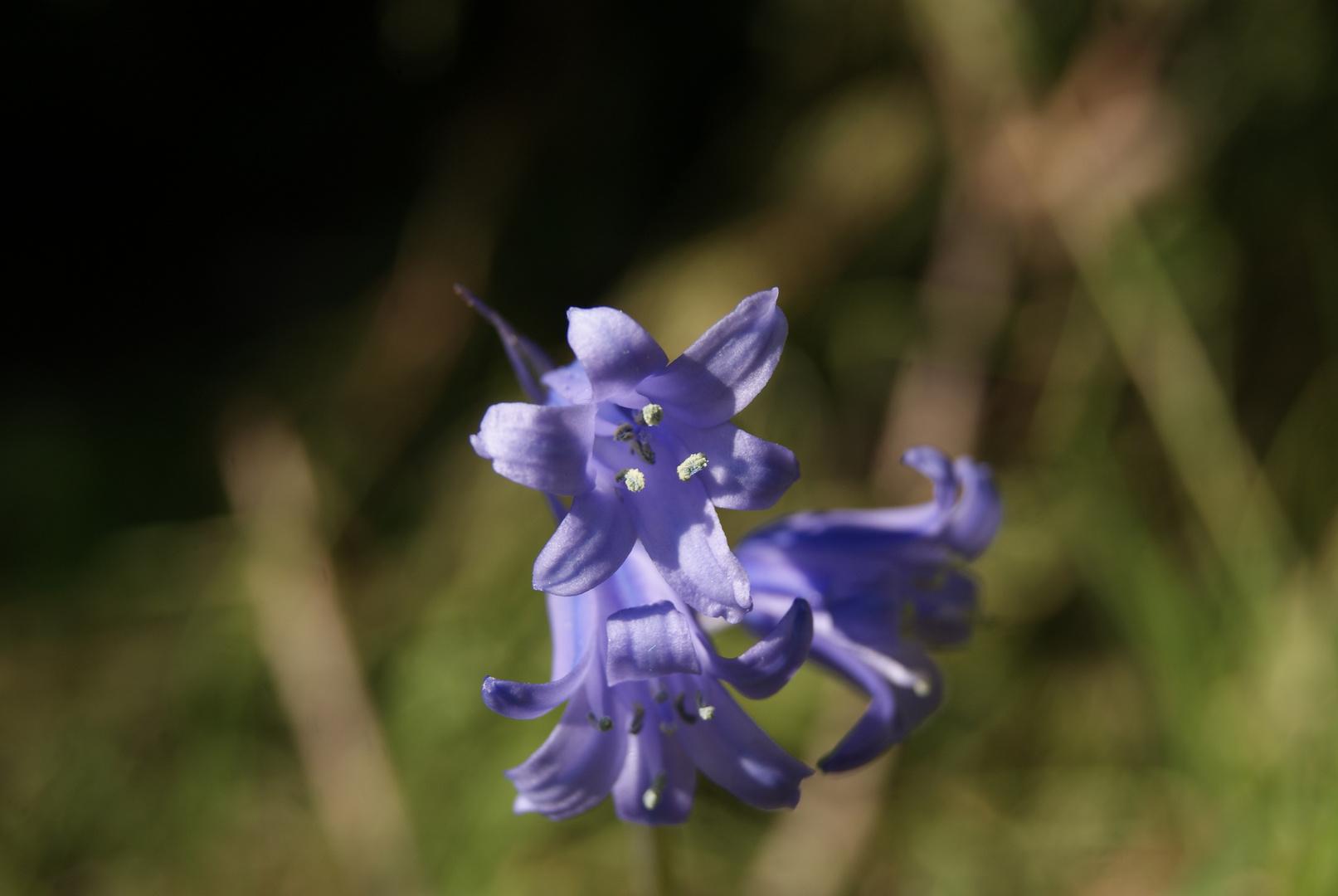 Jacinthe Des Bois - Hyacinthoides non-scripta