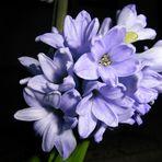 "Jacinto azul...""flor de otoño"""