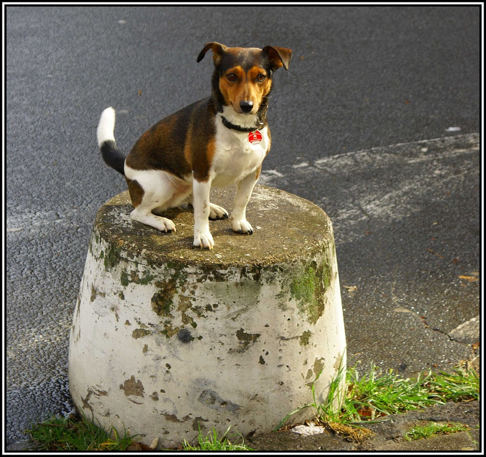 Jack Russell - Sitz