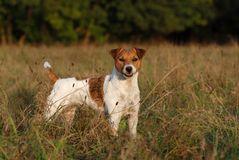 Jack Russell Terrier *