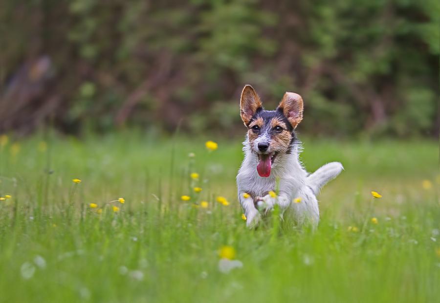 Jack-Russell-Terrier ...