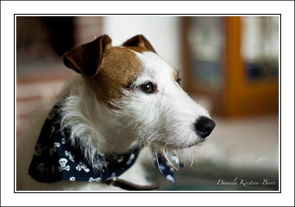 Jack Russell Terrier *Ernie*