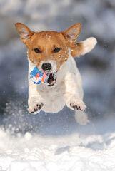 Jack Russell Terrier können auch...
