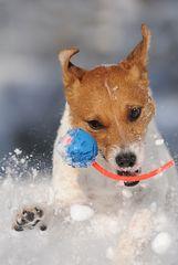 Jack Russell Terrier lieben...