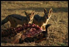 ... Jackals, Massai Mara, Kenya ...