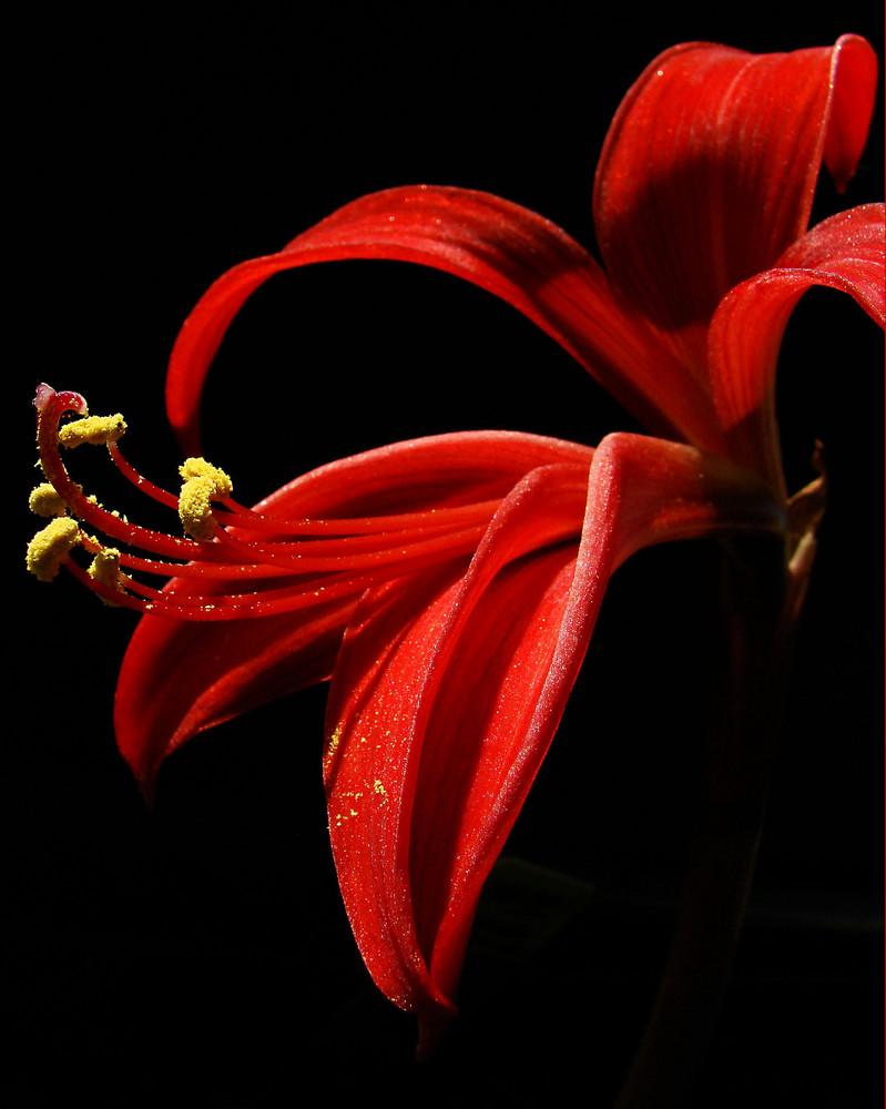 jacobslilie foto bild pflanzen pilze flechten bl ten kleinpflanzen iris und lilien. Black Bedroom Furniture Sets. Home Design Ideas