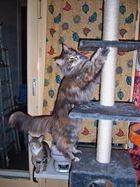 Jadie Maine Coon Katze