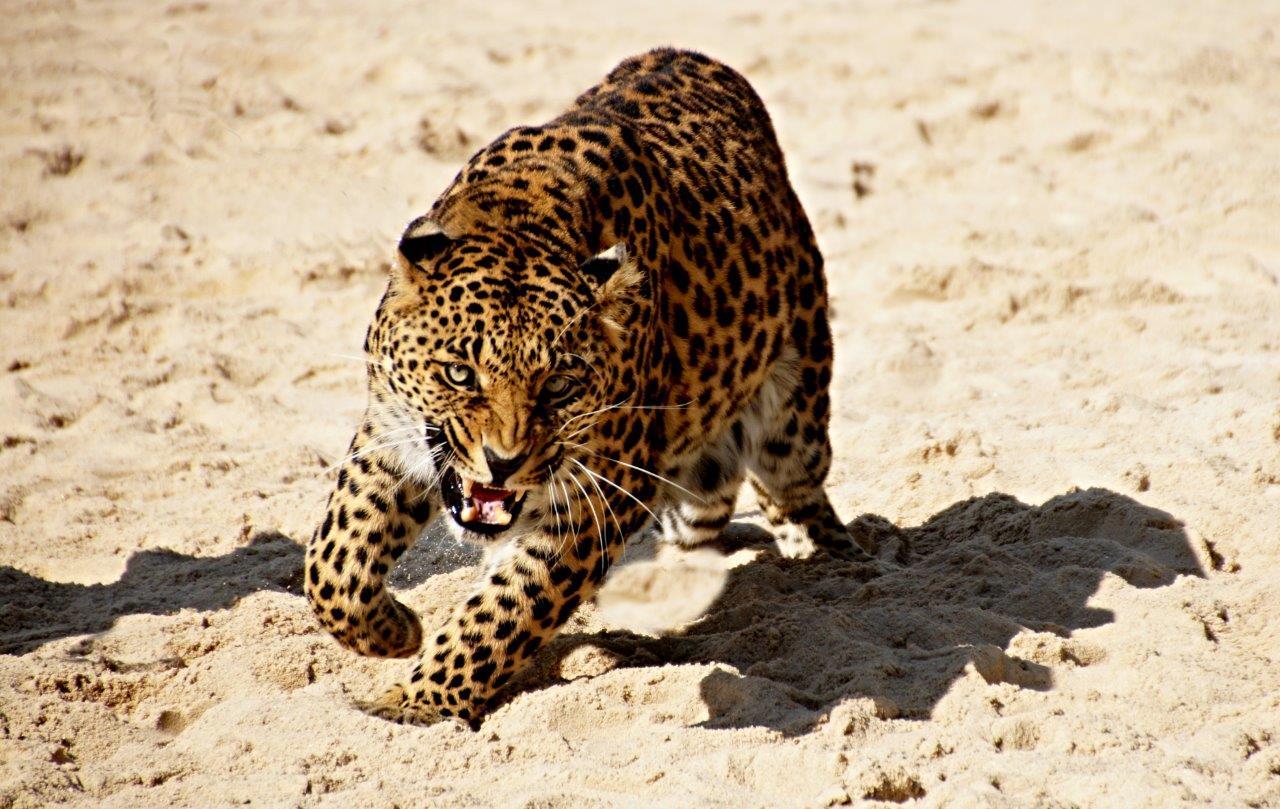 Jagd-Leopard?