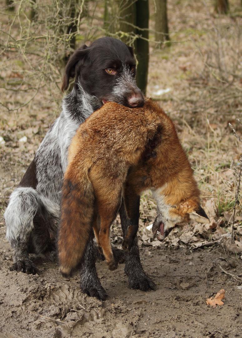 Jagdausbildung Deutsch Drahthaar