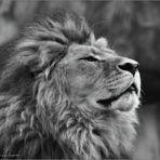 Jago der König ...