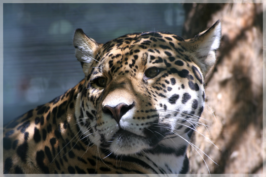 ...Jaguar...