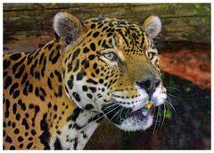 jaguar aux aguets.....