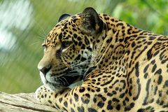 Jaguar Bess