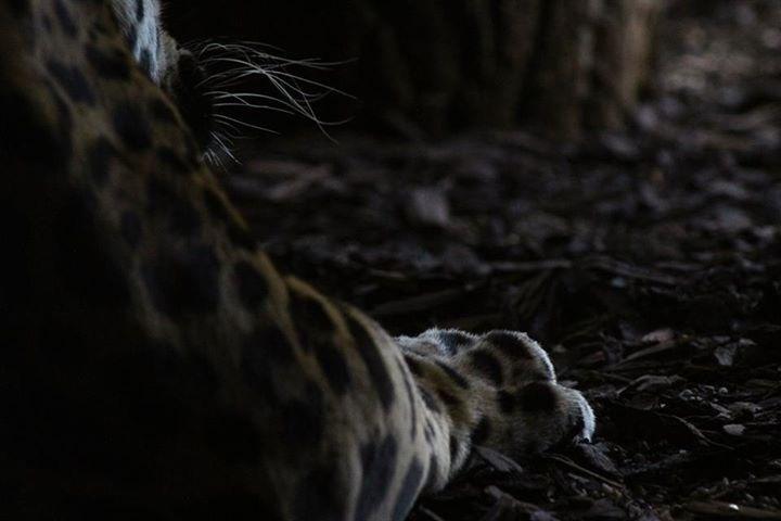Jaguar, Detail