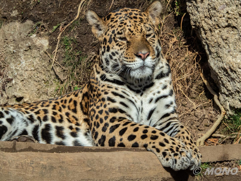 Jaguar Bilder