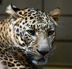 Jaguar Gesicht