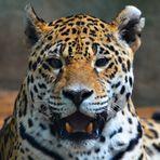 Jaguar Lächeln ?!?